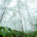 白樺樹液(バーチウォーター)は寒い国での栄養源だった。その効果と飲み方は?